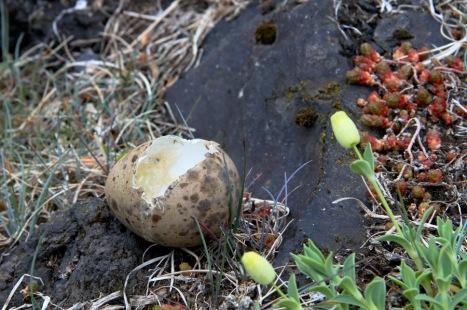 Seabird Egg