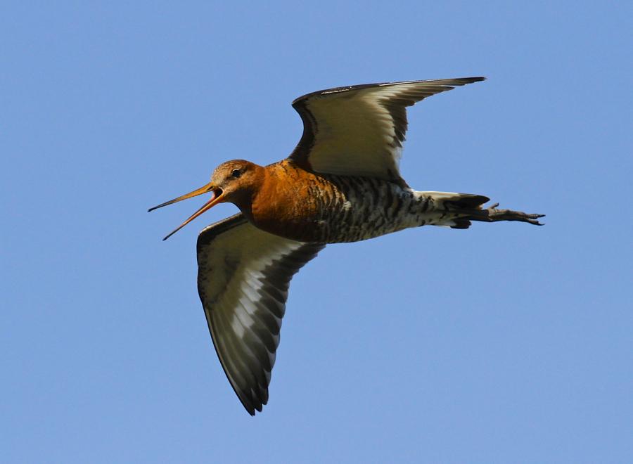 Black-Tailed Godwit in Flight on Hrisey Island