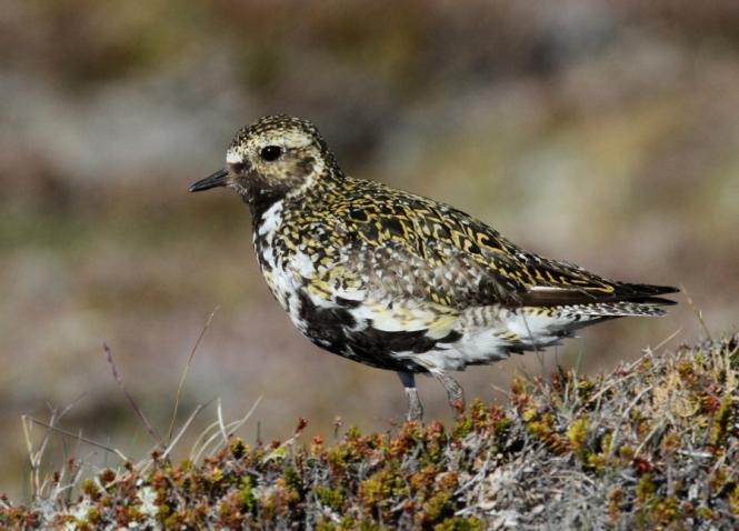 Golden Plover on Hrisey Island