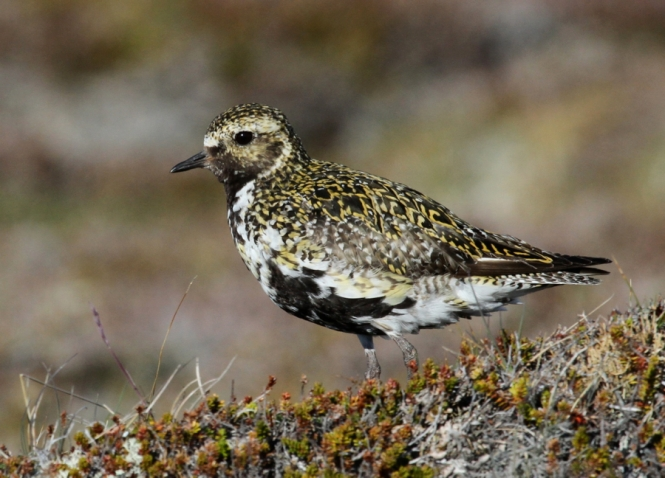 Golden Plover on Hrisey Island