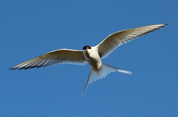 Arctic Tern on Hrisey Island