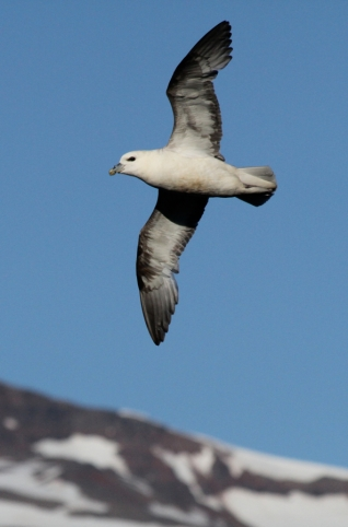 Fulmar on Hrisey Island