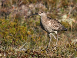 Whimbrel on Hrisey Island