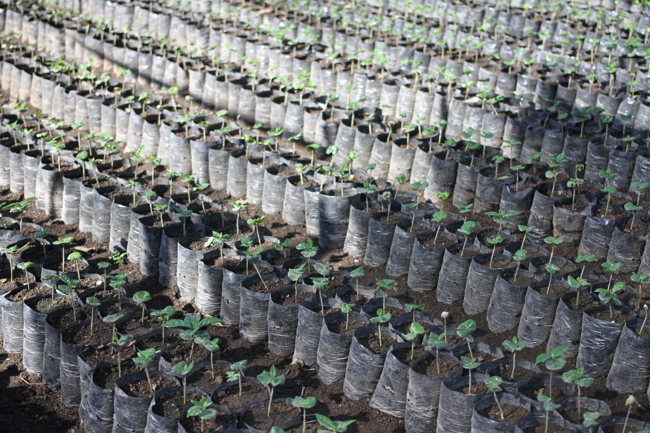 Single seeds are cultivated in a nursery for a year before being planted on the estate.