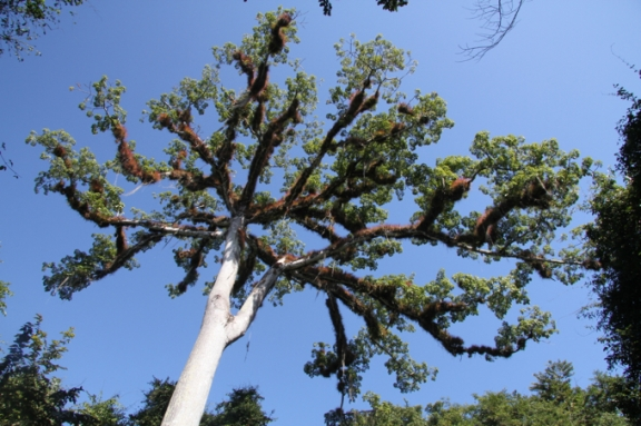 The Ceiba tree was considered sacred to the Mayans.