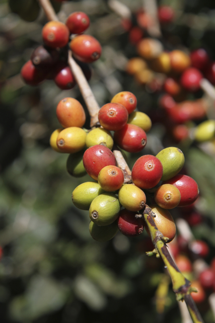 Coffee berries are hand-picked when they turn red.