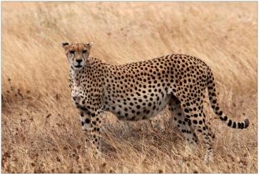Cheetah_Flipped
