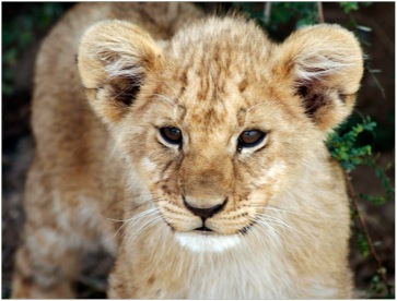 Lion Cub_Serengeti