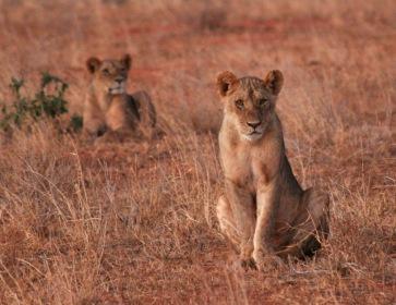 Tsavo Lionesses