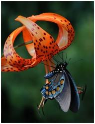 3277_JAN_TukishCapLily&Butterfly