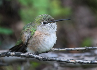Hummingbird on Bear Creek Falls Trail