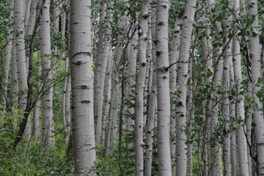 Aspen along the Jud Wiebe Trail