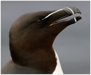 Razorbill at Látrabjarg