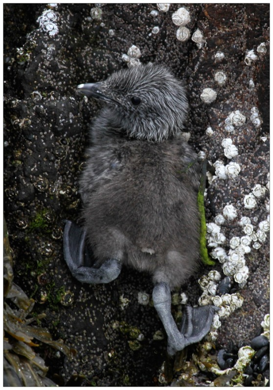 Guillemot Chick at Papey Island