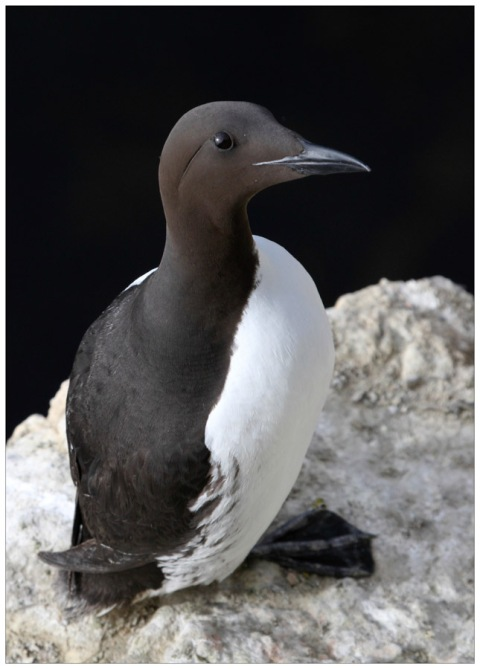Guillemot at Papey Island