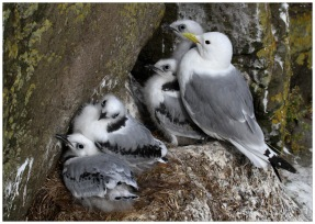 Kittiwakes at Papey Island