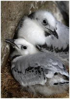 Kittiwake Chicks at Papey Island