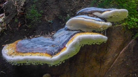 Bracket Fungus with Dew