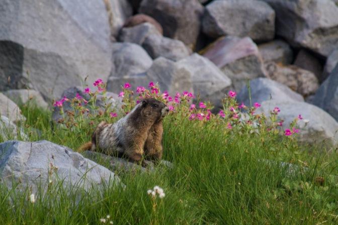 Marmot with Monkey Flower