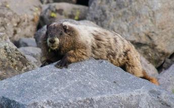 Summerland Marmot