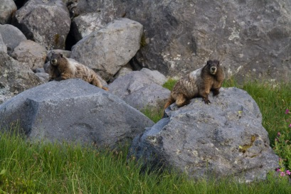 Summerland Marmots