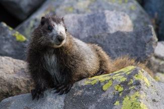 Juvenile Marmot
