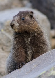 Juvenile Hoary Marmot at Summerland