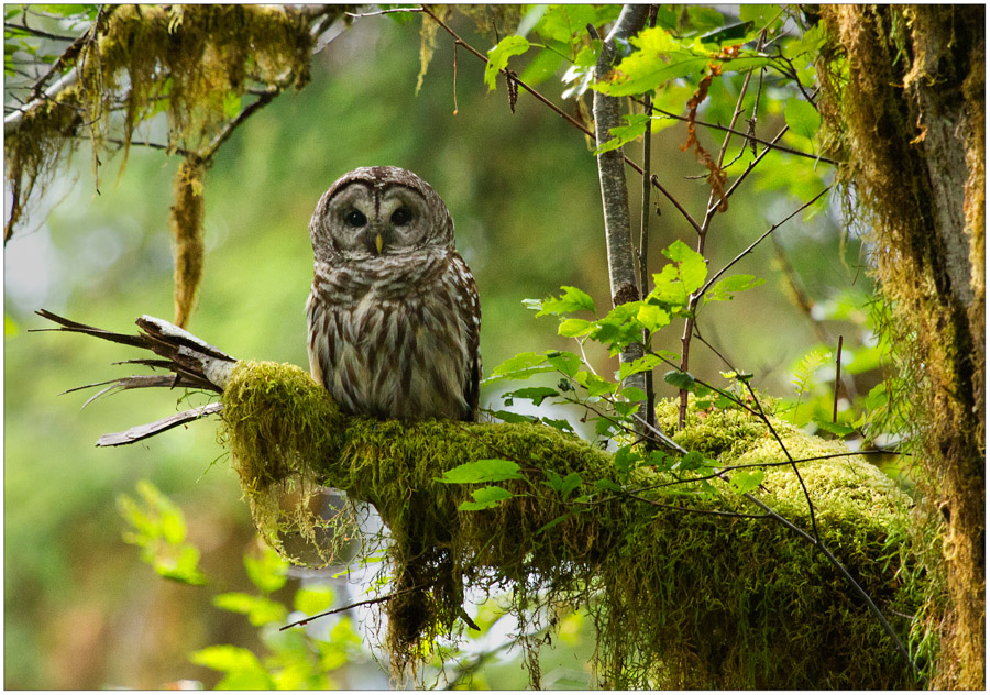 Barred Owl, Spruce Nature Trail, Hoh Rainforest