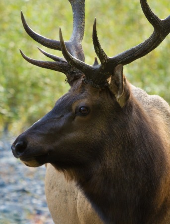 Roosevelt Elk Close Up