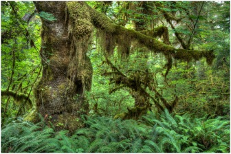Hoh Rain Forest, Olympic National Park