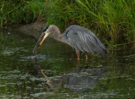 Blue Heron Breakfast