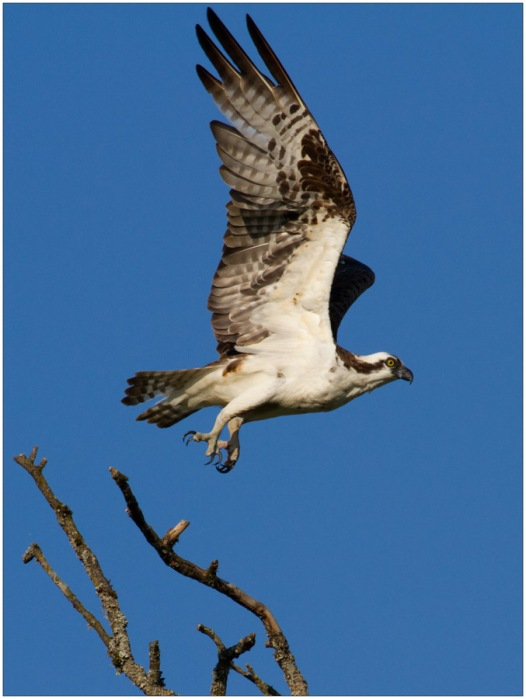 Osprey, Ridgefield National Wildlife Refuge