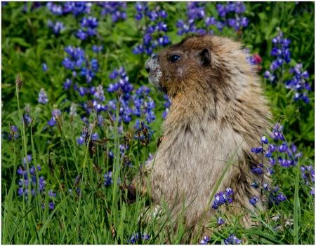 Hoary Marmot in Lupine Field