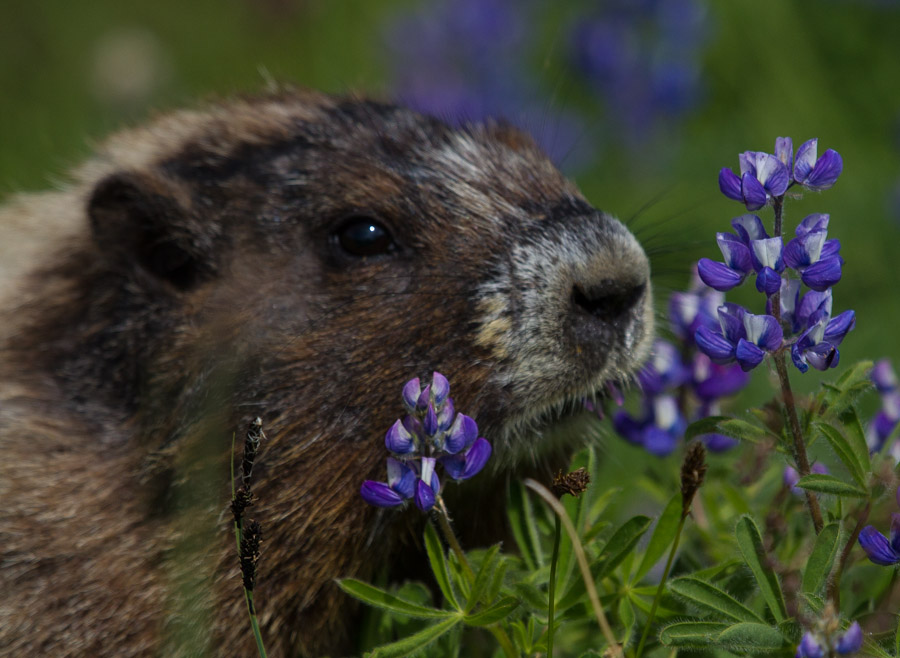 Hoary Marmot Lupine Lunch