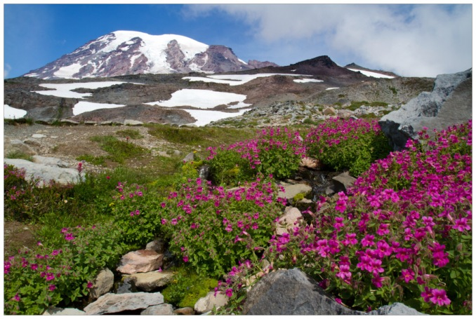 Monkey Flower and Rainier