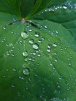 Vanilla Leaf with Dew