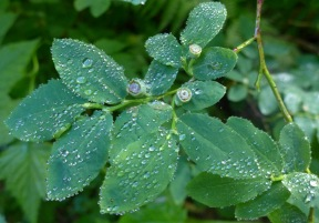 Blueberry Bushes with Dew