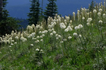Fields of Bear Grass