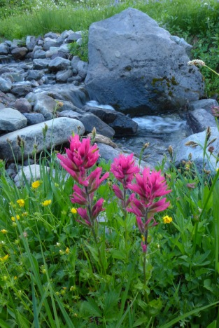 Pink Indian Paintbrush