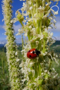 Ladybug on Bear Grass