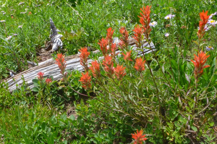 Orange Indian Paintbrush