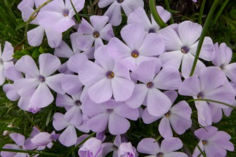 Attractive Alpine Phlox