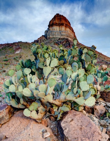 Chisos Prickly Pear