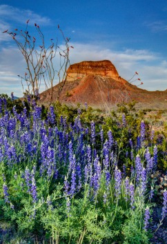 Lupine with the Cerro Castellan