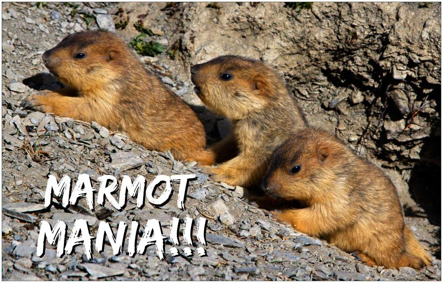 Marmot Mania!_2